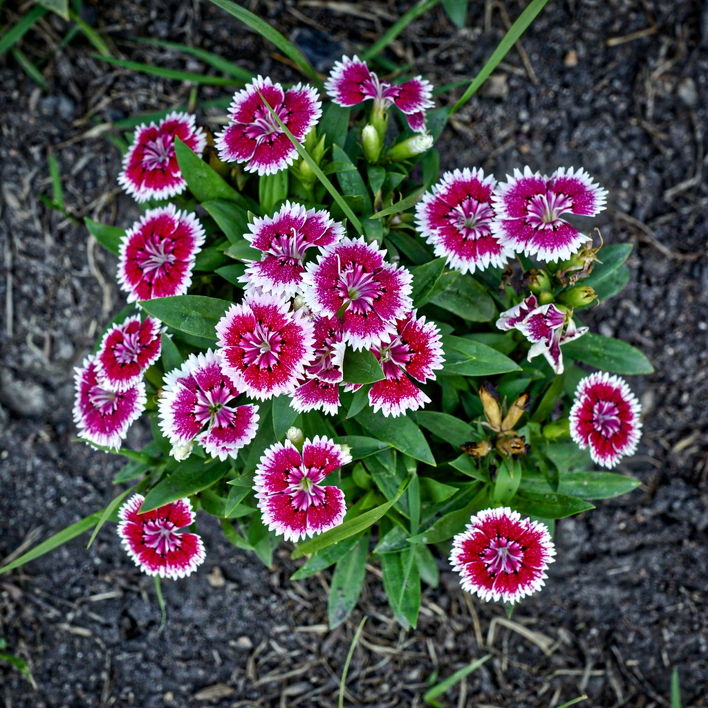 Sweet William Flowers Dianthus Barbatus In Suan Luang Ra Flickr