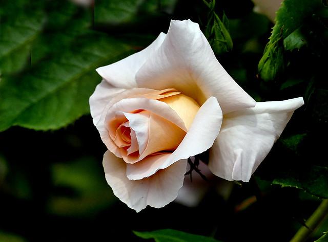 Iris Gee Rose.