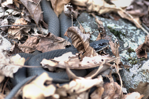 Northern Black Racer (Coluber constrictor) | by aaronsemasko