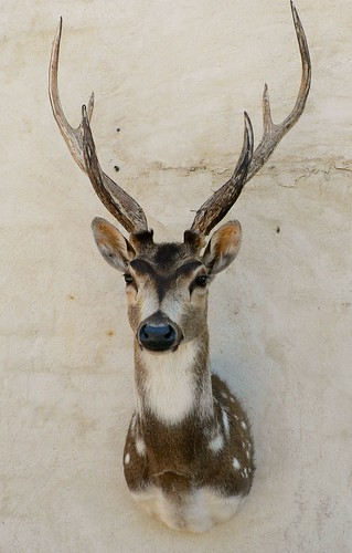 Chital Taxidermy