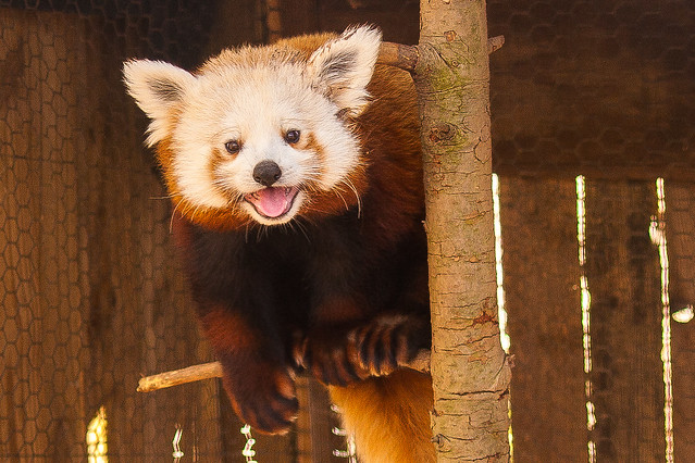 Red Panda at Mill Mountain Zoo