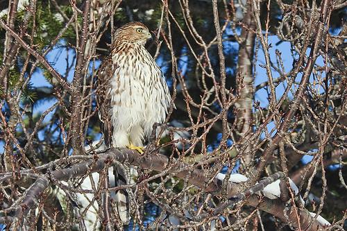 NJ: Snowy Day Cooper's Hawk