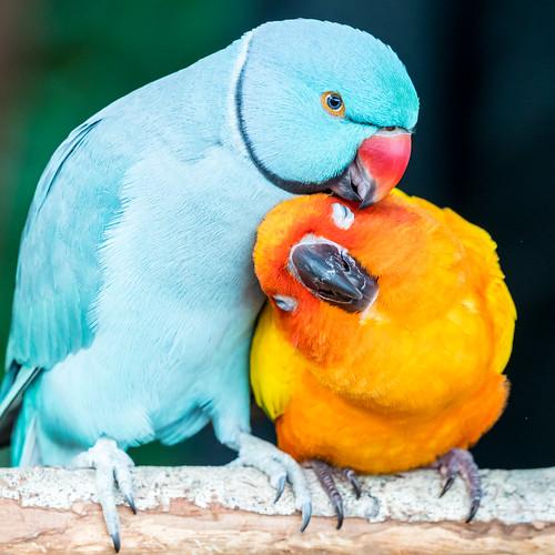 Friendly Blue Indian Ringneck Parakeet Amp Sun Conure Parrot