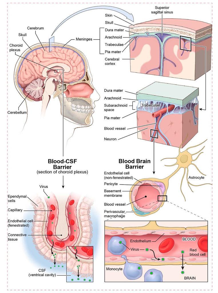 Meninges of the brain | Brain meninges illustration demonstr… | Flickr