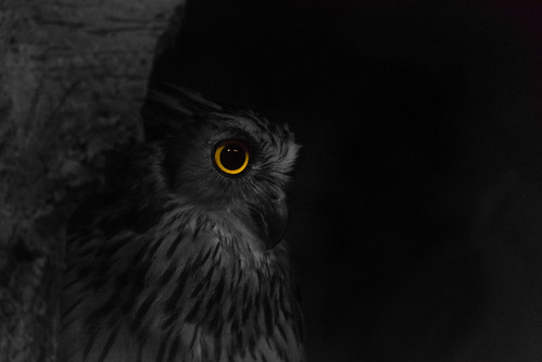 Those watchful eyes (Buffy Fish Owl) | by Alden Lim