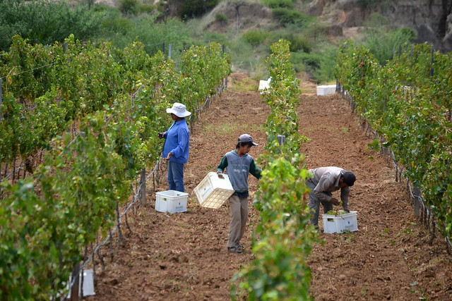 grape harvest in Tarija, Bolivia