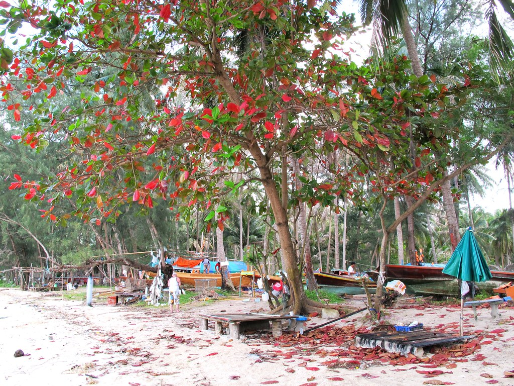 Bel arbre sur l'île de Koh Phangan en Thailande.
