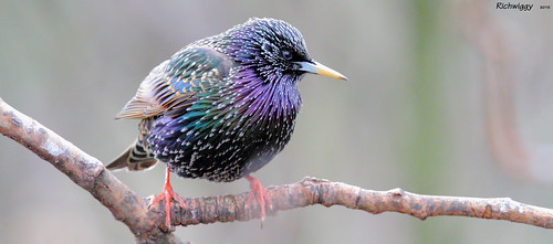starling colours IMG_0220