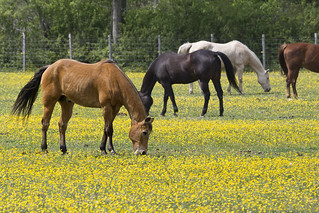 horses in field eating yellow buttercup flowers Newport News Va. | by watts_photos