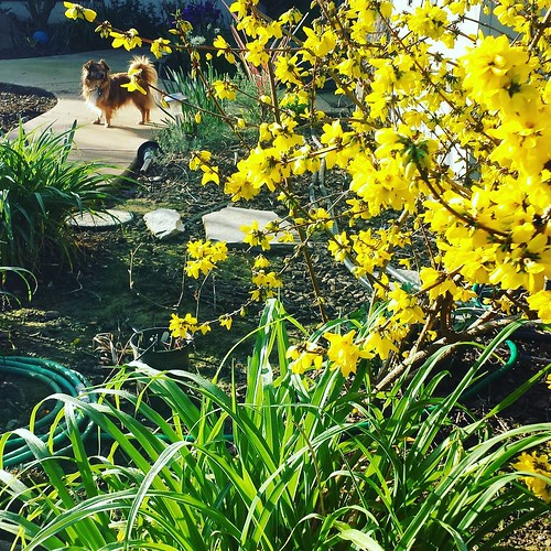 My forsythia | by SarabellaE / Sara / Love in the Suburbs