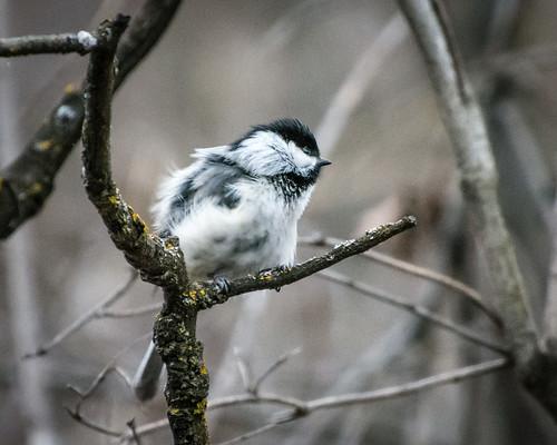 windblown chickadee