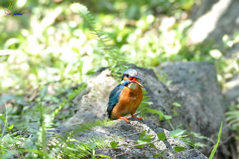 Common_Kingfisher_2741