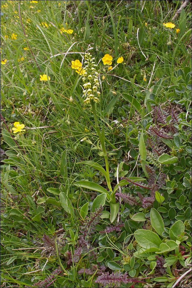 Pseudorchis-albida-ssp-tricuspis_21 | Pseudorchis albida A. … | Flickr