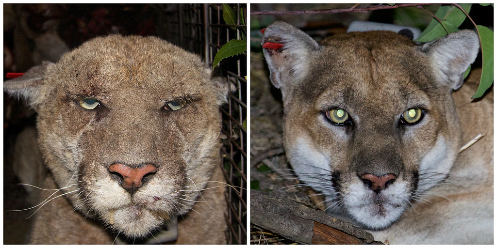 p 22 mange before and after the photo on the left shows p flickr