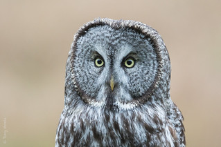 Great Gray Owl (Strix nebulosa) | by Tony Varela Photography