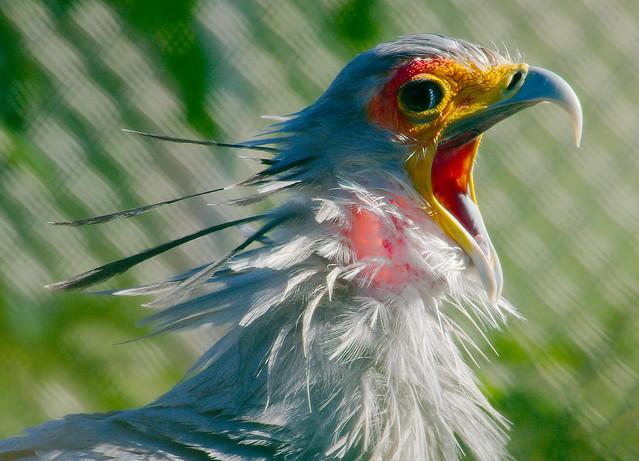 Secretary Bird (Sagittarius serpentarius)_9