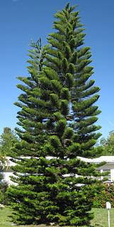 Cook Island Pine Vs Norfolk