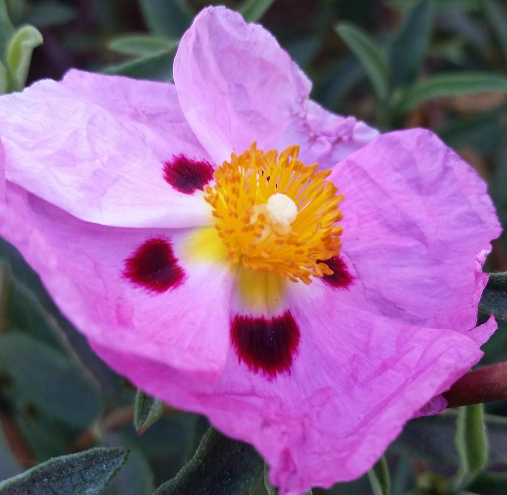 Looks Like Paper Cool Flower Kinda Wrinkly Ef661av Flickr