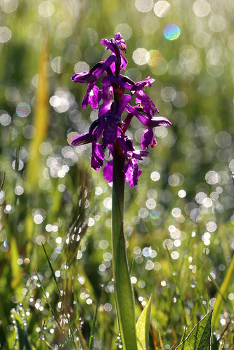 Green Winged Orchid Anacamptis morio