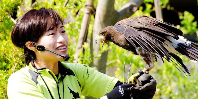 Female Harris Hawk, Akari and Bird Master Girl : ハリスホークの朱里(あかり)とバードショーのお姉さん