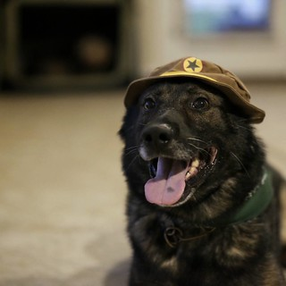 #linky trying out his new hat... #germanshepherd, #dogs, #dogsofinstagram, #roundrock, #texas, #lazysunday | by ptm512