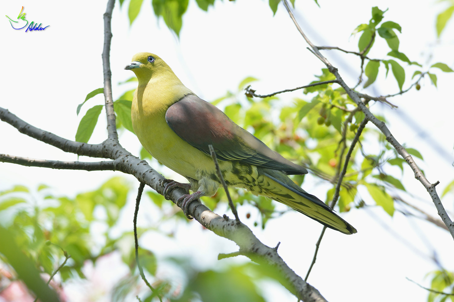 White-bellied_Green_Pigeon_5302
