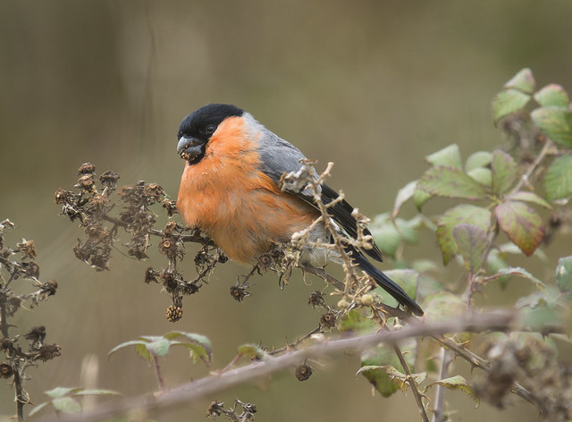 Bullfinch, MVCP, 20th Feb 2016