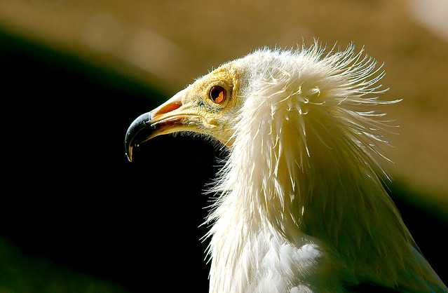 Egyptian Vulture (Neophron percnopterus)_7