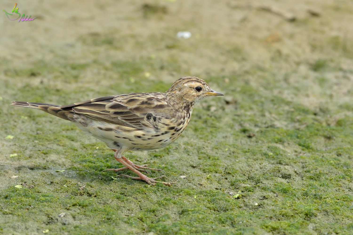 Red-throated_Pipit_3735