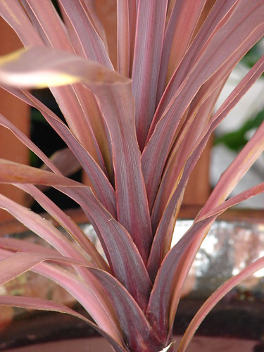 starr-070906-8392-Cordyline_australis-Red_Sensation_leaves-Kula_Ace_Hardware_and_Nursery-Maui | by Starr Environmental
