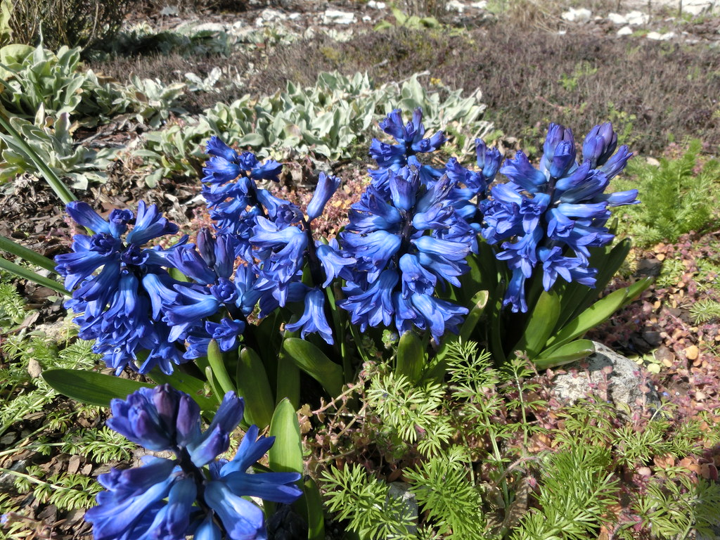 Hyacinths That Have Multiplied From One That Appeared From Flickr