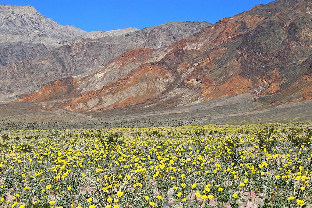 Desert gold flowers death valley january 2016 5 flickr desert gold flowers death valley january 2016 5 by bob palin mightylinksfo