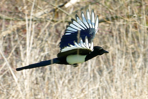 Magpie in flight | by Andrew Skotnicki