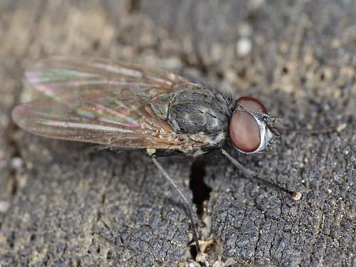 anthomyiidae blumenfliegen phylum arthropoda