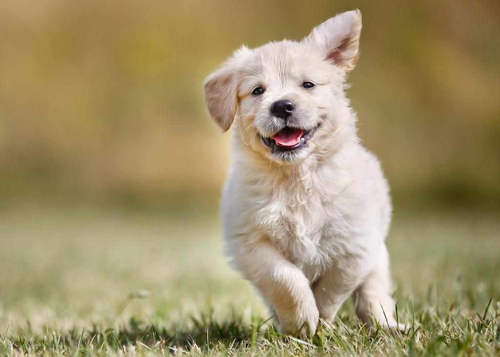 Playful Golden Retriever Puppy Seven Week Old Golden Retri Flickr