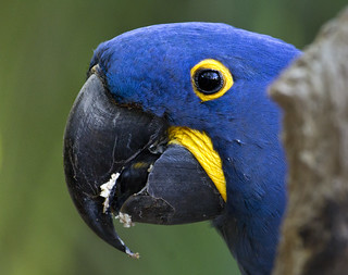 Hyacinth macaw parrot Brevard County zoo  Melbourne Florida blue yellow bird | by watts_photos