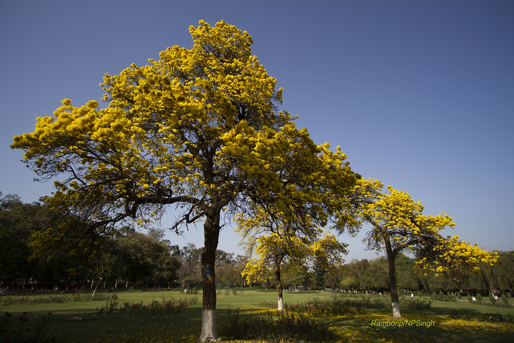 Rose Gardenchandigarhindia Cassia Fistula Golden Shower Flickr