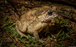 Asian toad incursion, Madagascar Dec  2014 photo James Reardon-7304 | by JamesReardon.org