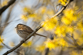 Song Sparrow (Melospiza melodia) -- Brooklyn Botanic Garden | by billmiky
