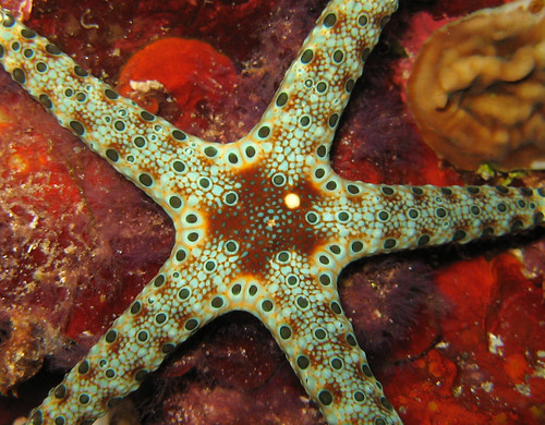 Cuming's Sea Star (Neoferdina cumingi)