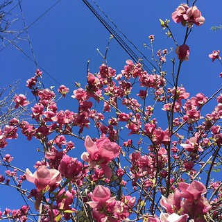 Blue skies pink flowers sunny day. #february #california | by martha_jean
