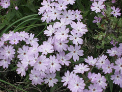 Long-leaf Phlox