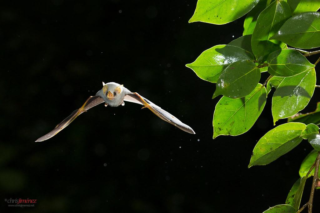 ... Honduran white tent bat (Ectophylla alba) in flight | by Chris Jimenez Nature Photo & Honduran white tent bat (Ectophylla alba) in flight | Flickr