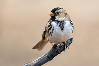 Harris's Sparrow | by Photosequence