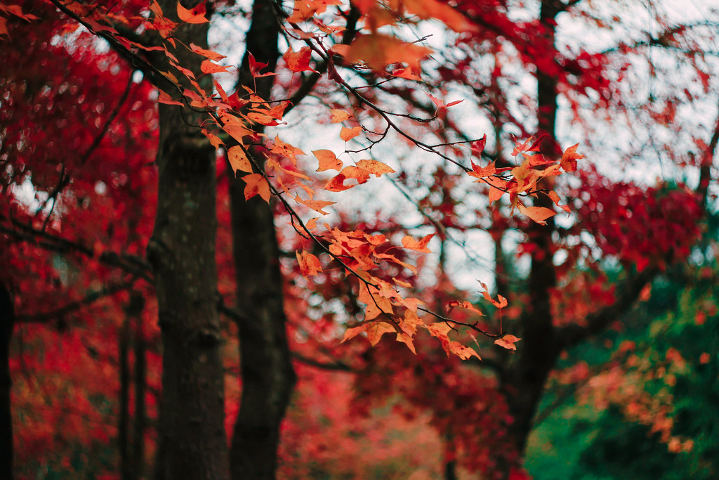 Image result for 富士河口湖紅葉まつり