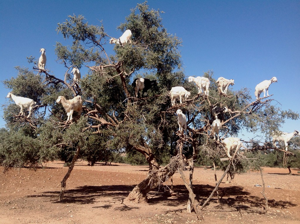 argan tree and goats / Marocco