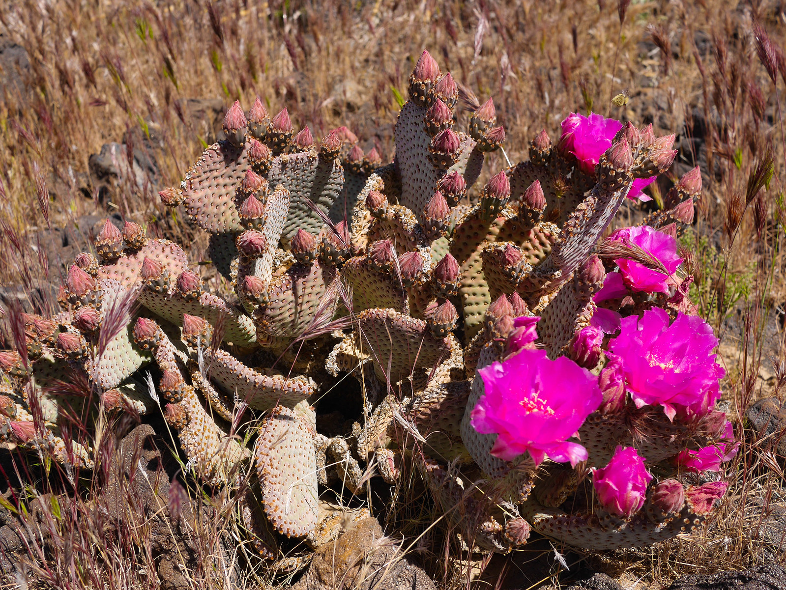 Blooming Beaver Tail Cactus