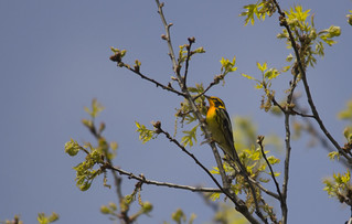 Blackburnian Warbler | by Birding In New Jersey