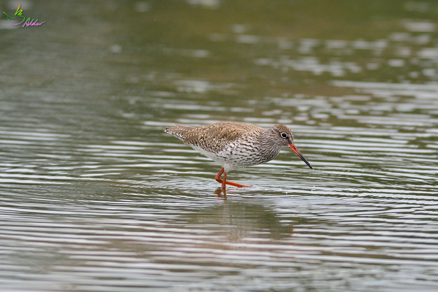 Common_Redshank_3236