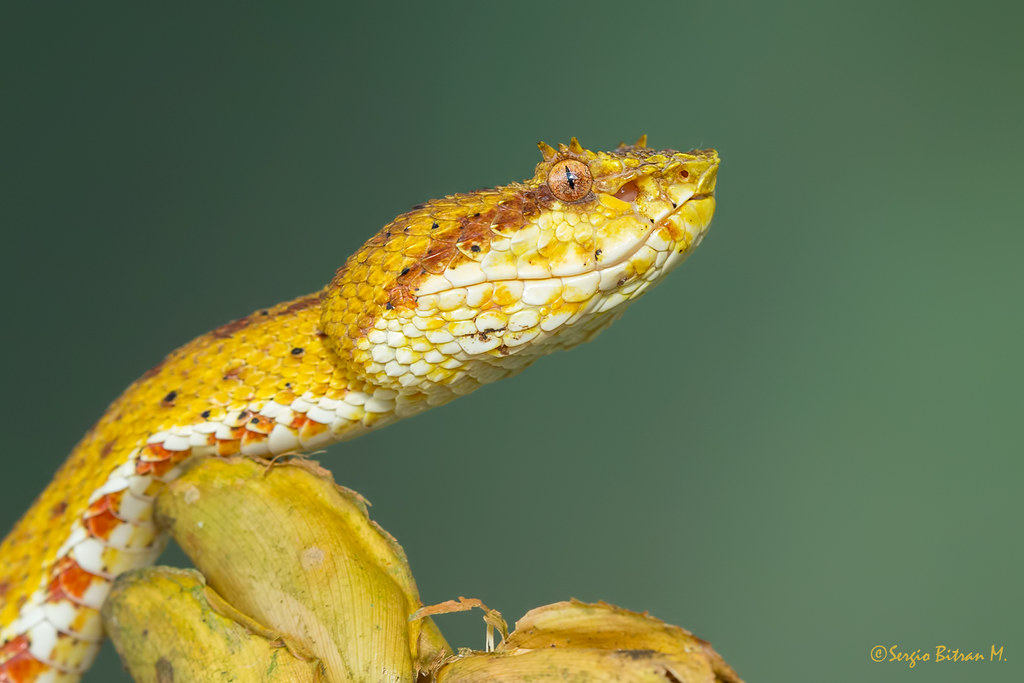 Eyelash Viper Bothriechis Schlegelii Bocaraca Crtalo Flickr